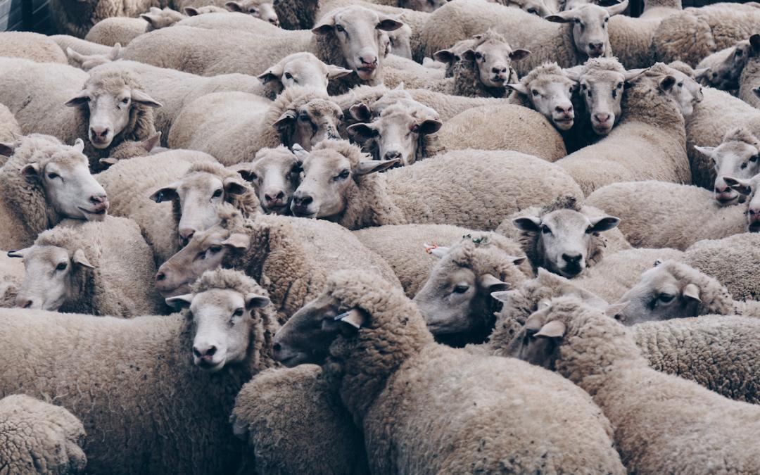 Çobanı İzlemek